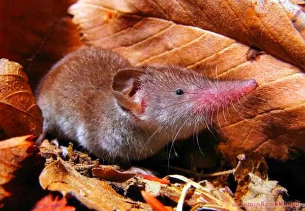 Карликовая многозубка – самое маленькое и прожорливое млекопитающее на планете Анималия, Животные, Фауна, Природа, Млекопитающие, Видео, Длиннопост, Яндекс Дзен