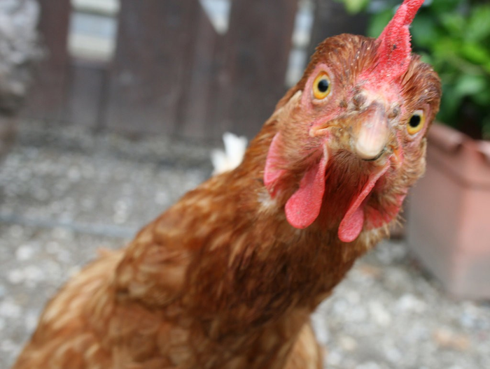Куриный апокалипсис Реальная история из жизни, Фиаско, Курица