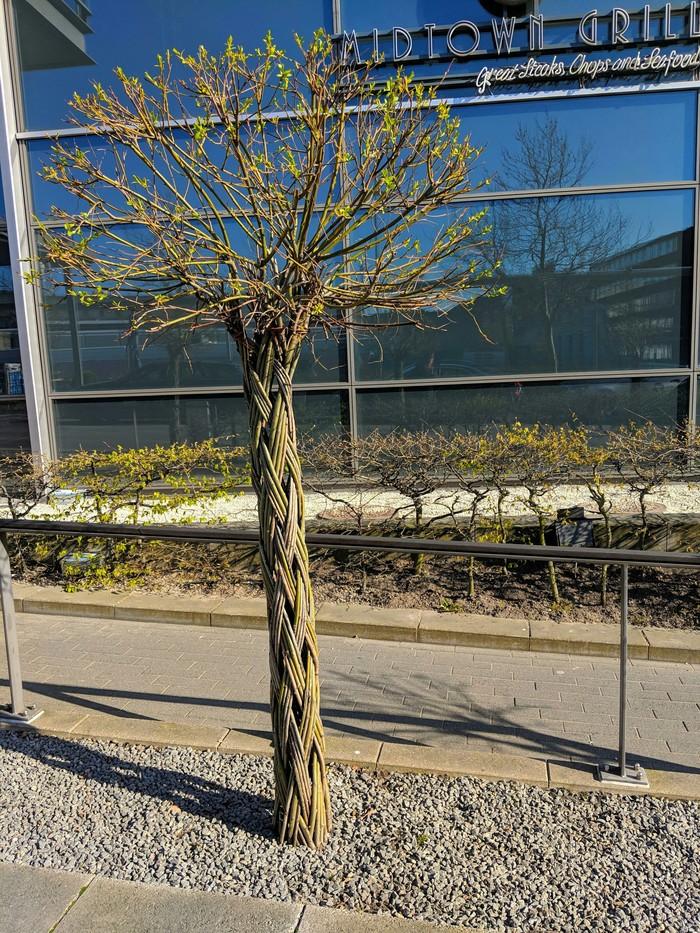 Это дерево было сплетено, пока росло