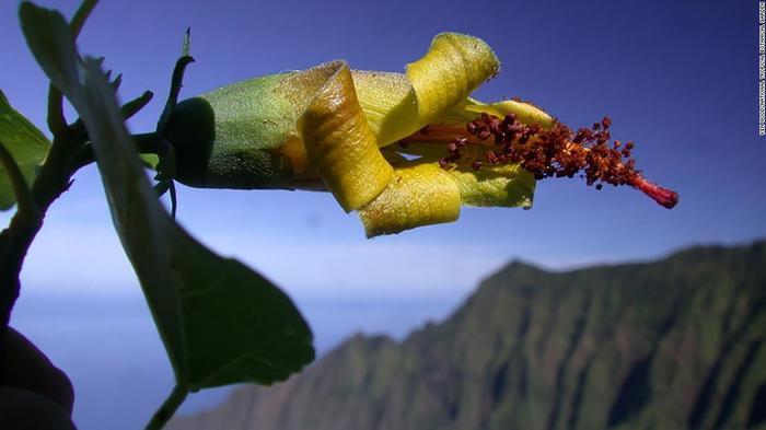 Дрон обнаружил «исчезнувший навсегда» цветок Растения, Гавайи, Дрон, Технологии