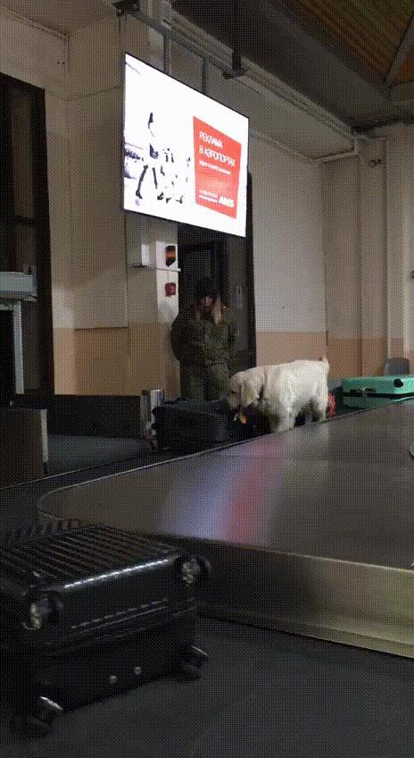 Тайм-менеджмент в иркутском аэропорту Собака, Гифка, Аэропорт, Тайм-Менеджмент, Смешные животные, Золотистый ретривер, Иркутск