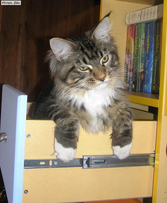 Потеряли кота при уборке) Кот, Весна, Мейн-Кун, Уборка, Потеря, Длиннопост
