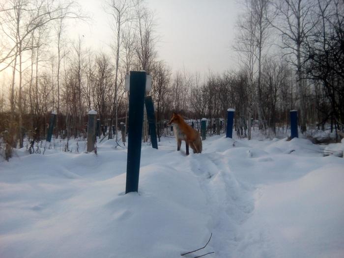 Природа, лиса пришла на кладбище Природа, Лиса, Красота, Зима, Кладбище, Лес