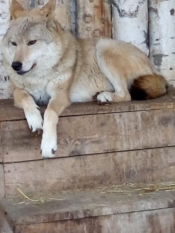 Любимица моего сына Волк, Животные, Длиннопост