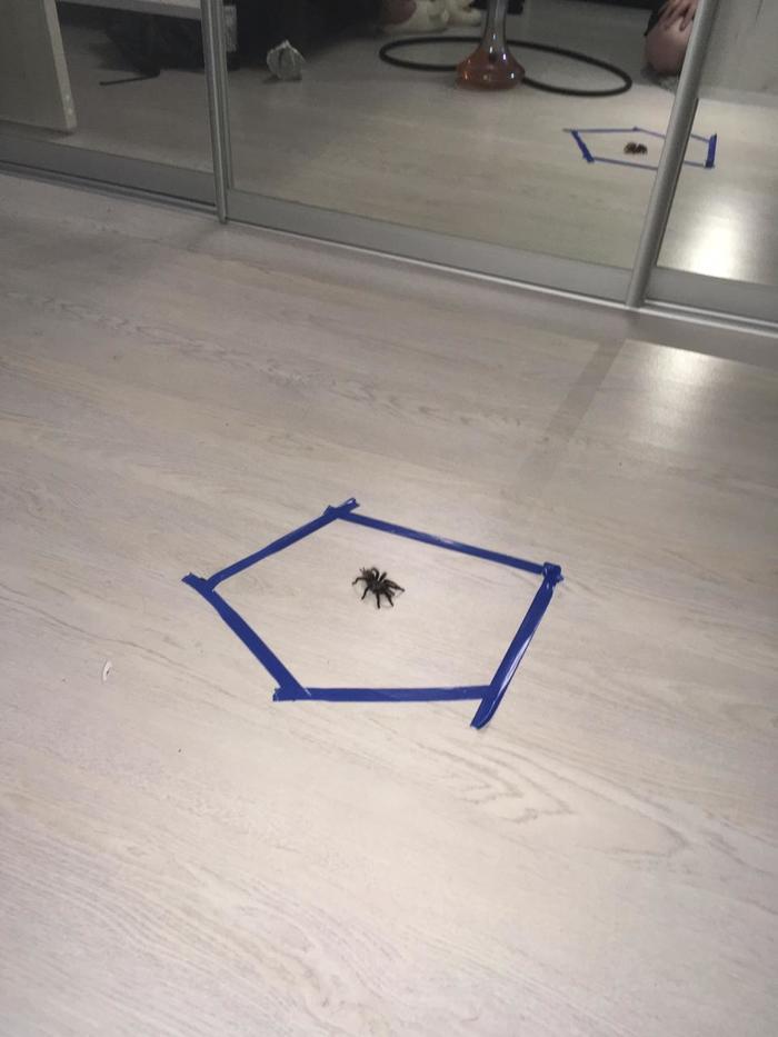 Не только котиков можно поймать в круг из изоленты на полу Домашние животные, Кот, Паук, Изолента, Длиннопост