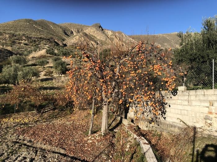 Просто хурма в солнечных лучах Хурма, Осень, Фрукты, Вкусно, Красота, Испания, Гранада