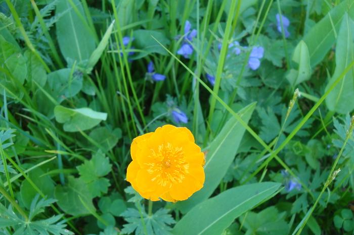 Скоро зацветут жарки Цветы, Жарки, Саяны, Ергаки, Длиннопост, Природа