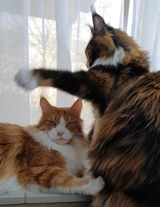 За мгновение до :) Кот, Мейн-Кун, Неожиданная плюха, Котомафия, Видео