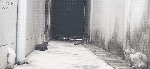 Ниндзя-кот