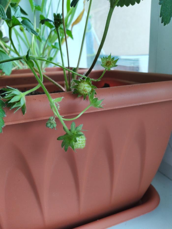 Хватит выращивать цветы, пора взяться за более серьезное... Клубника, Растения, Ягоды, Витамины, Частичка лета, Длиннопост