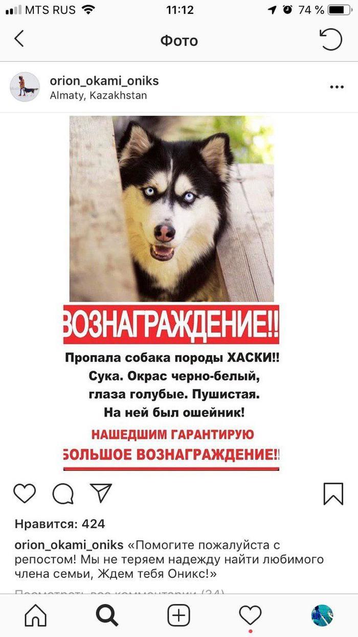 Пропала собака хаски Оникс. Алматы Казахстан Казахстан, Алматы, Хаски, Пропала собака, Без рейтинга