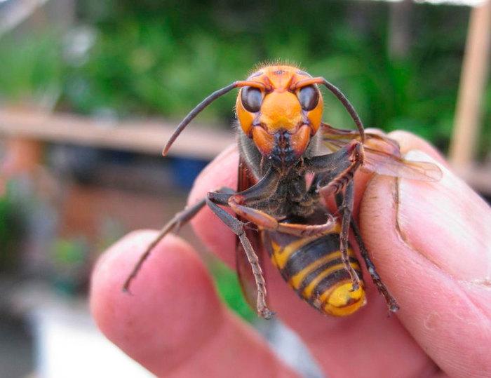 Против насекомого Шершень, Работа, Текст, Рабочая история, Смелость