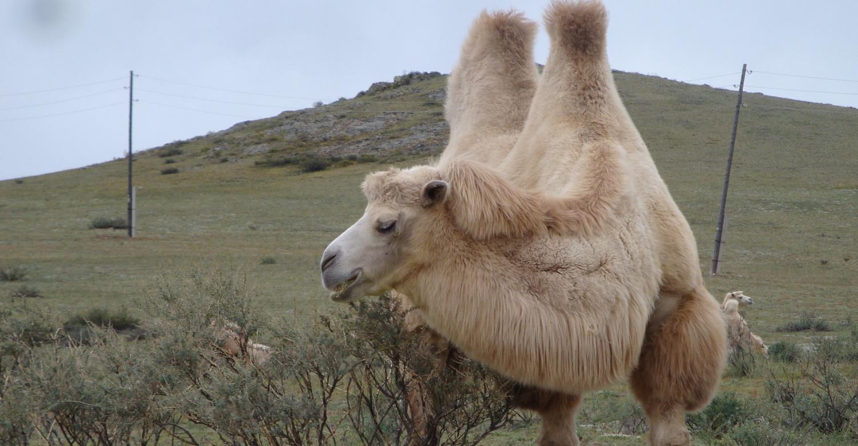 моего картинки верблюд баран хочу