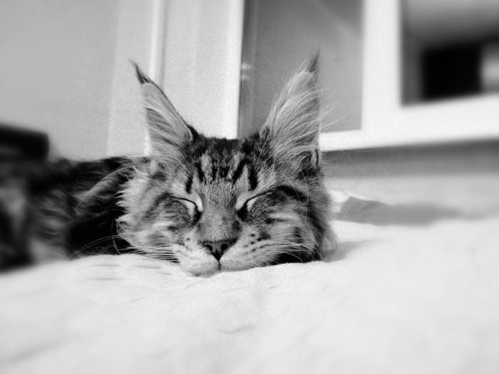 Куня котюня Кот, Котомафия, Мейн-Кун, Лампа, Кот с лампой