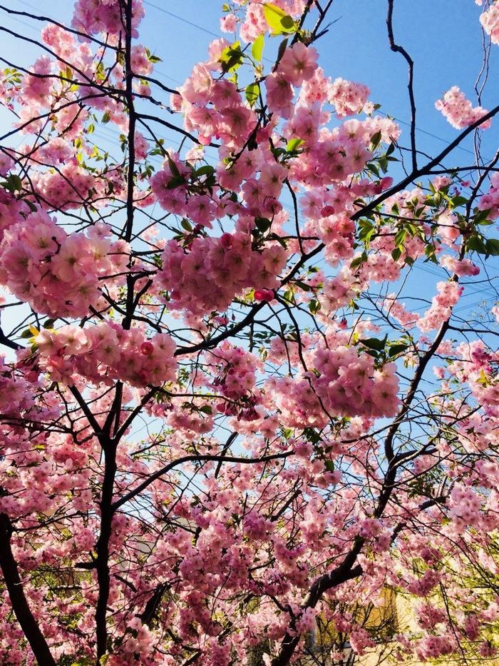 Сакура на Литейном Сакура, Сад дружбы, Литейный проспект, Весна, Длиннопост, Санкт-Петербург