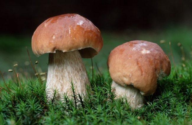 Белый гриб. Белый гриб, Грибы, Природа, Продукты питания, Кулинария, Длиннопост