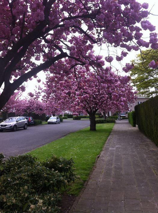 Антверпен Весна, Антверпен, Бельгия, Красота, Сакура, Цветение