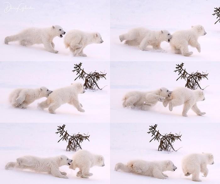 Кусь Фотография, Животные, Медведь, Белый медведь, Детеныш, Погоня, Кусь