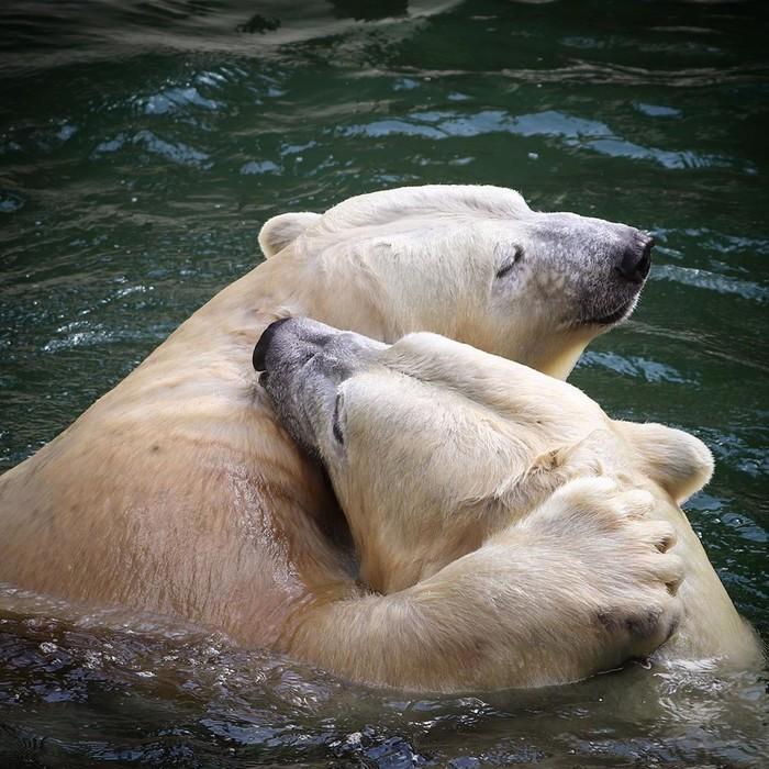 Обнимашки Фотография, Животные, Медведь, Белый медведь, Обнимашки