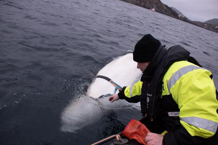 Норвежские рыбаки заметили в океане белуху – на ней была шлейка с креплением для камеры Белуха, Норвегия, Рыбак, Новости, Море, Видео, Длиннопост