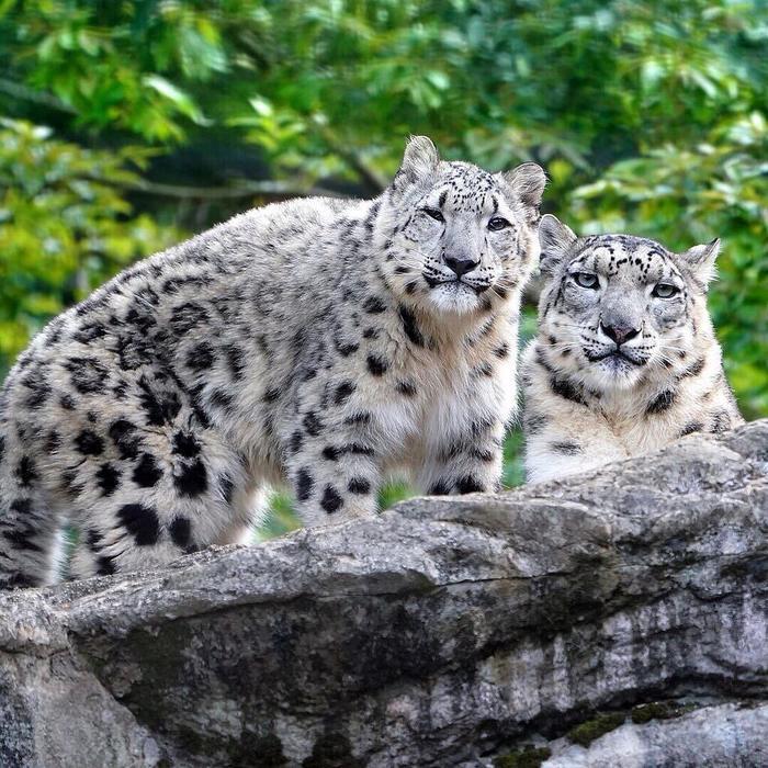 Котята и их большие мамы Кот, Тигр, Гепард, Снежный барс, Детеныш, Зоопарк, Милота, Животные, Длиннопост