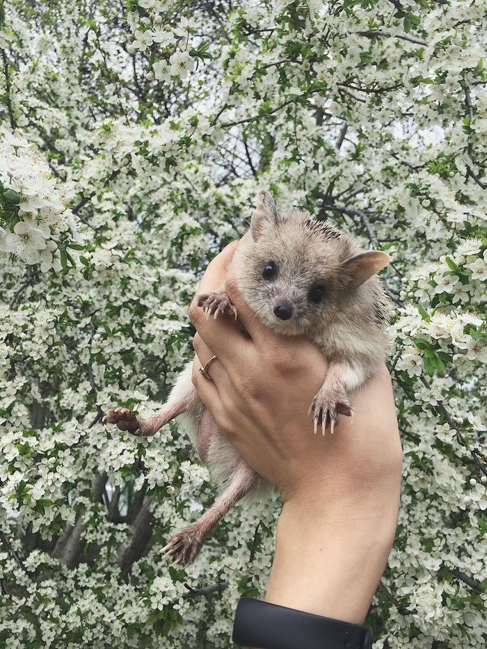 Наконец-то весна Ёжик, Домашний любимец, Весна, Милота, Длиннопост