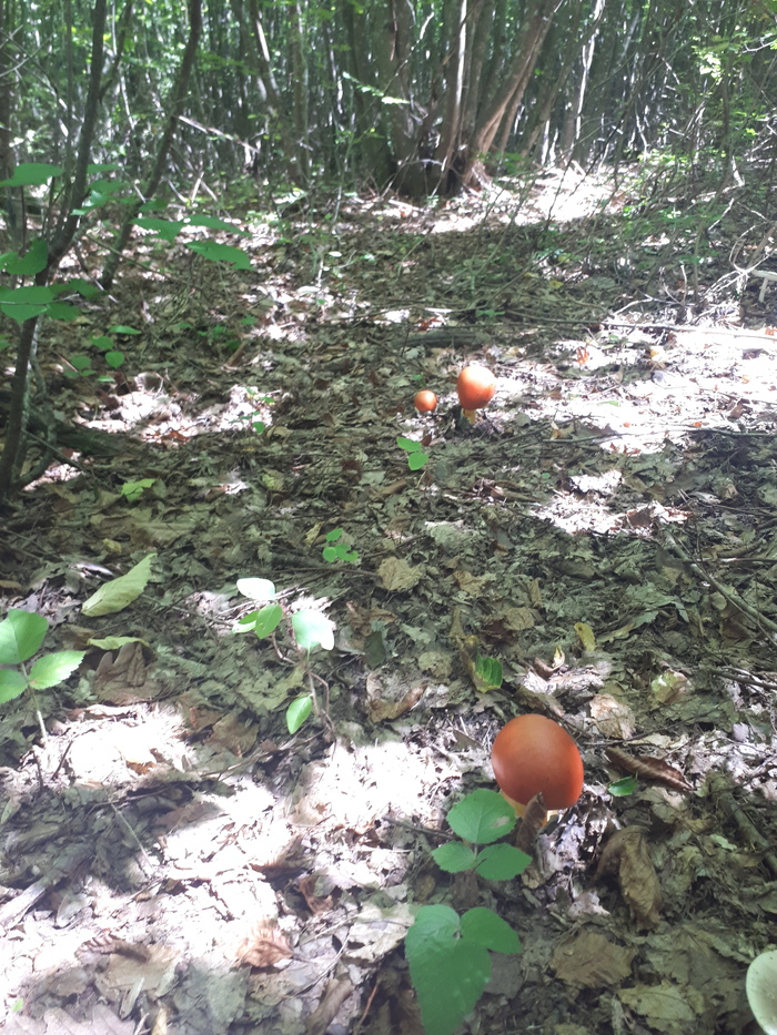 Царский гриб Цезарский гриб, Лес, Грибы, Длиннопост