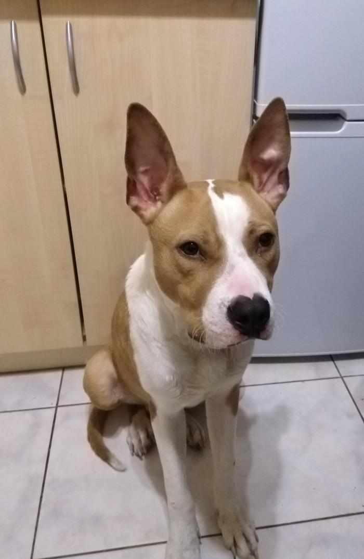 МО, Балашиха. Найден стаффордширский терьер Найдена собака, Балашиха, Ищу хозяина, Длиннопост, Собака, Без рейтинга