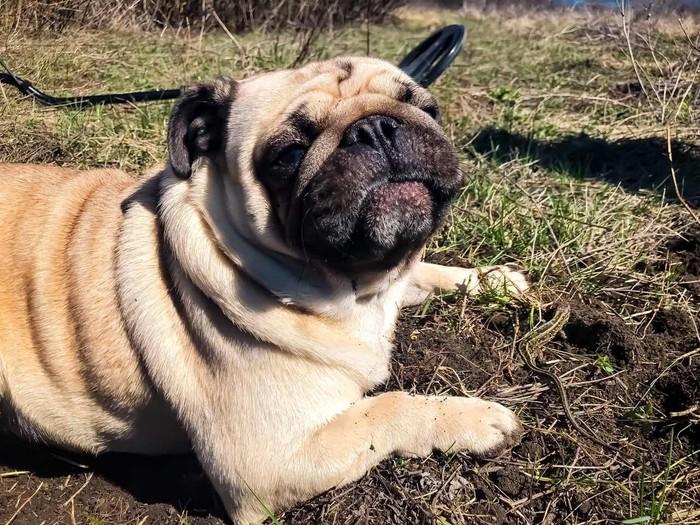 Дружелюбный Кокос Собака, Ящерица, Солнце, Хобби, Мопс, Длиннопост