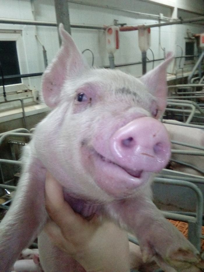 Зоотехнические байки 3 Животноводство, Свинья, Работа, Ветеринария, История, Поросята, Юмор, Мат, Длиннопост