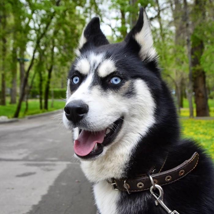Собака бабака Собака, Хаски, Бабака, Домашние животные, Фотография, Длиннопост