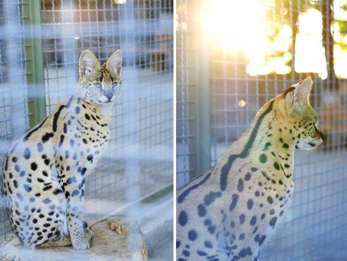 Дикие животные в Бахчисарайском зоопарке. Крым, Бахчисарай, Дикие животные, Дикие коты, Фотография, Зоопарк, Лемур, Олень, Длиннопост