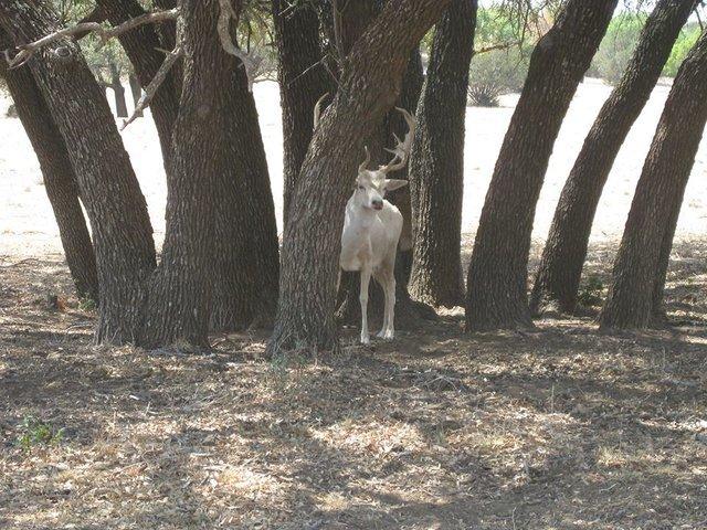 Белый олень пытается спрятаться, но не понимает, что ему не хватает способности маскироваться, как его другим друзьям...