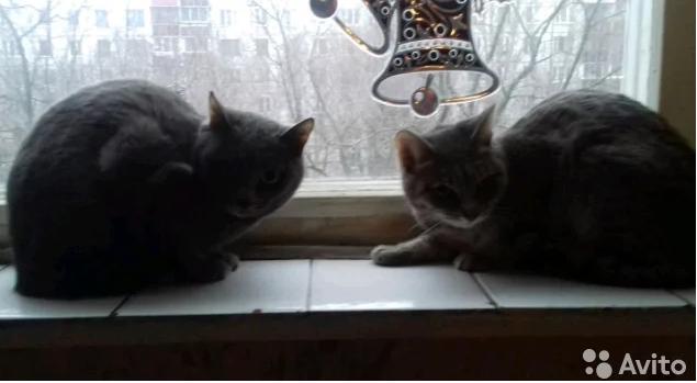 Москва. Две кошки даром Даром, В добрые руки, Кот, Москва, Без рейтинга