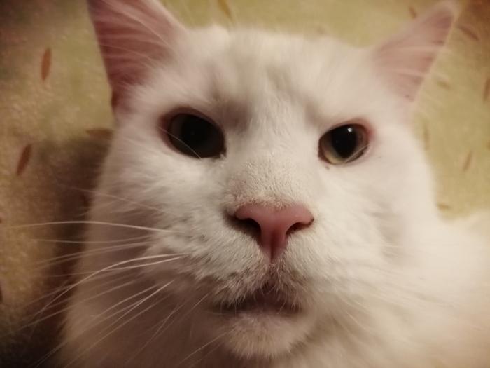 Хмурый кот Синбад Кот, Котомафия, Мейн-Кун