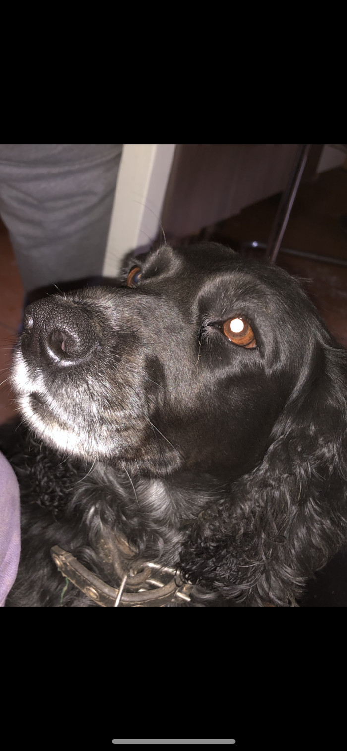 Помогите найти собаку Потеряшка, Пропала собака, Спаниель, Мытищи, Москва, Длиннопост, Собака, Без рейтинга, Помогите найти