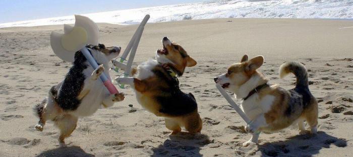Пляжное веселье Корги, Собака, Длиннопост