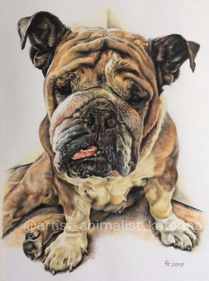 Портреты английских бульдогов цветными карандашами. Портрет, Портреты животных, Рисунок, Английский бульдог, Длиннопост