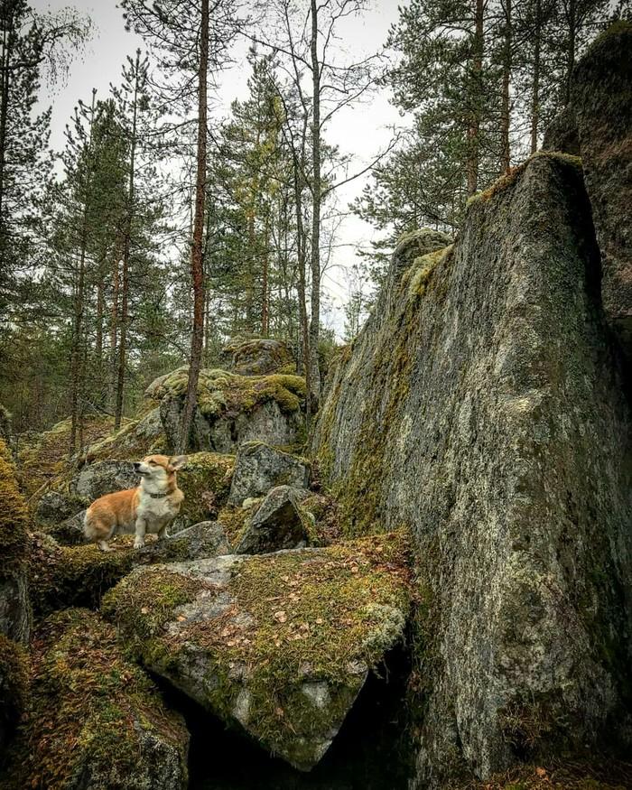 Походный сезон открыт Корги, Лес, Фото на тапок, Длиннопост