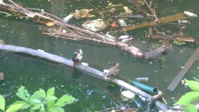 Утки в мусорке Дикие утки, Опасность, Мусорка