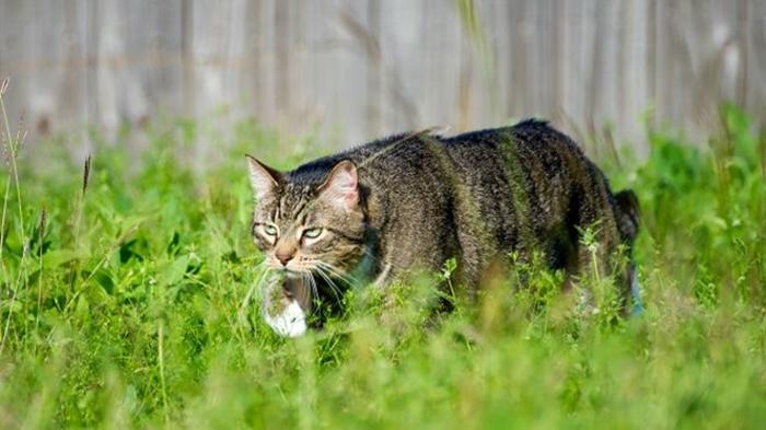 В Австралии задумали отравить миллионы кошек Кот, Австралия, Природа, Уничтожение, Яд, Длиннопост