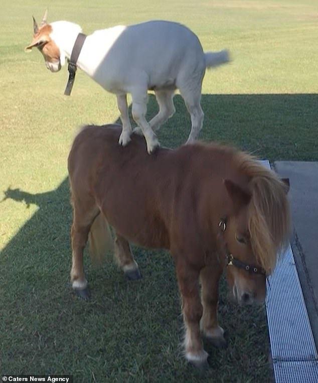 Козочка учится кататься на своём друге пони Дружба, Коза, Пони, Милота, Видео