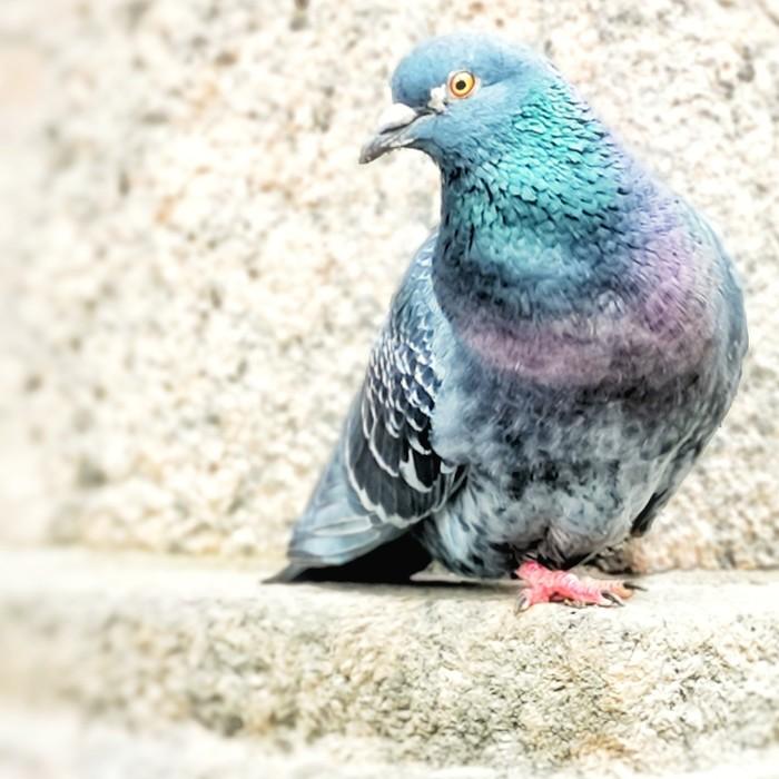 Важный птиц Голубь, Птицы, Длиннопост