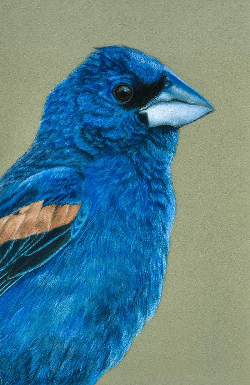 Голубая гуирака Рисунок, Птицы, Пастель, Реализм, Арт, Гуирака, Анималистика