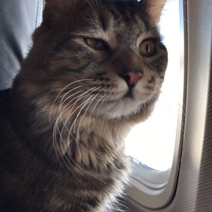 И куда мы летим, кожаный? Самолет, Кот, Котомафия, Полет, Курильский бобтейл