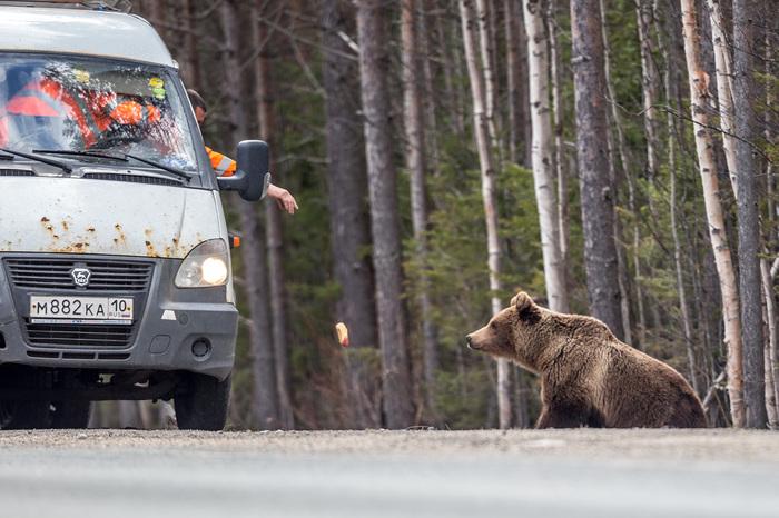 Не подкармливайте медведей Фотография, Медведь, Животные, Подкармливание, Опасность