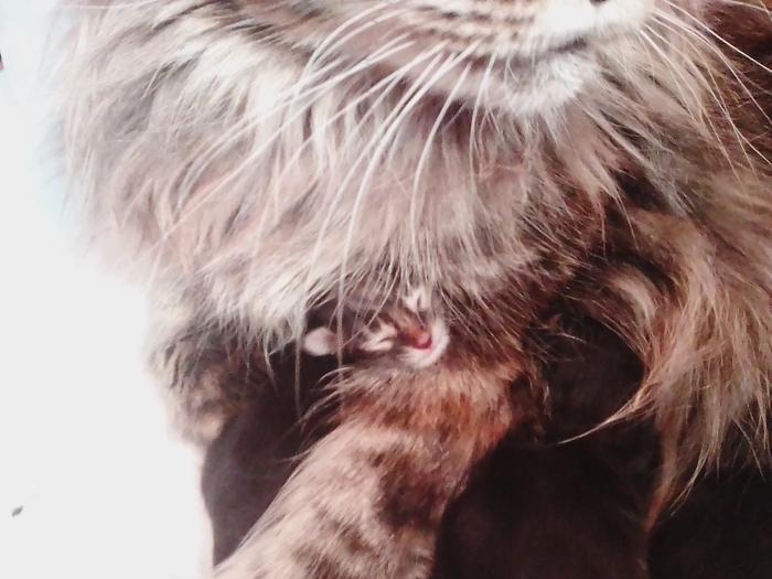 Найди котика. Милота, Мейн-Кун, Смешные питомцы, Кот