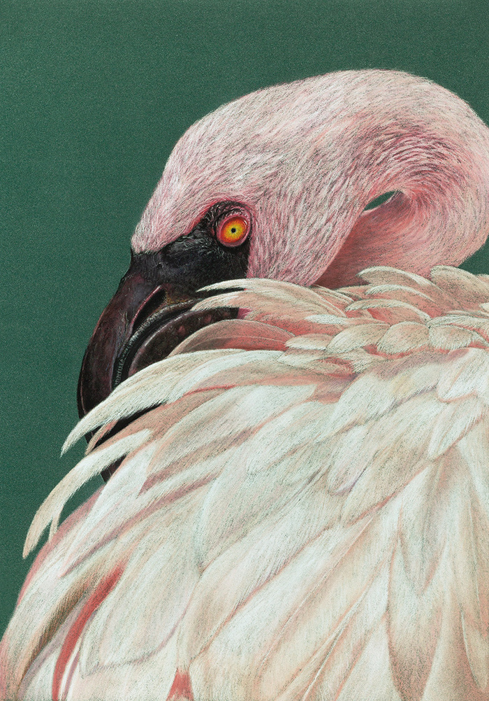Малый фламинго Рисунок, Птицы, Реализм, Фламинго, Арт, Пастель, Анималистика