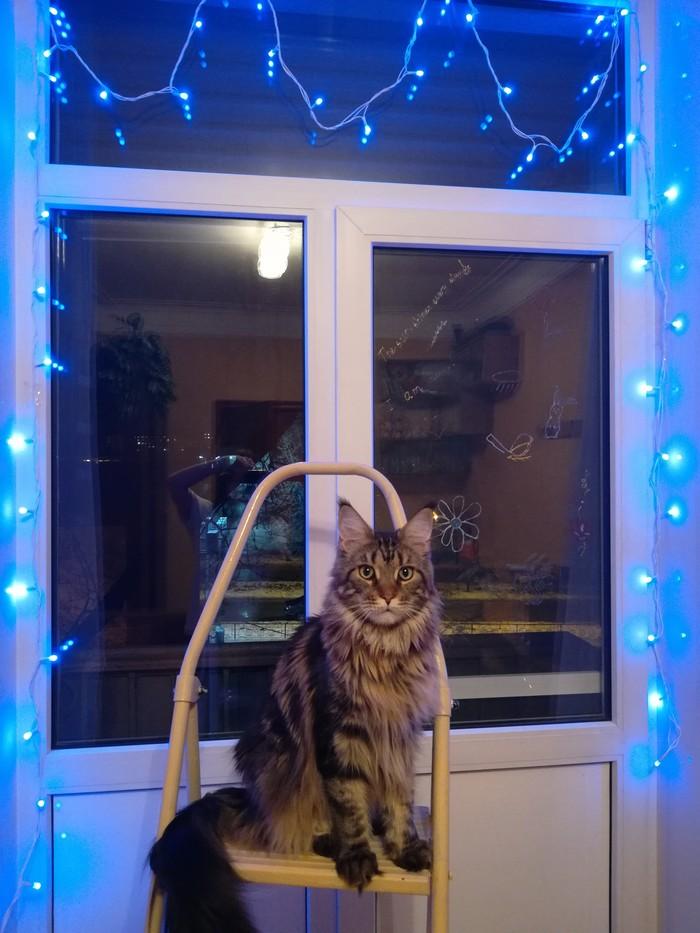 Когда котик - не столько признак сильной и независимой, сколько отдельный вид искусства Кот, Мейн-Кун, Любовь, Фотография, Седьмая Жизнь кота, Видео, Длиннопост