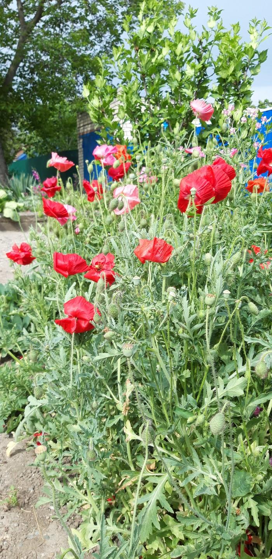 Маки....огненный цветок.. Цветы, Ставропольский край, Мак